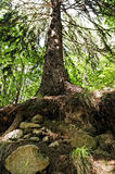 Big norway spruce in the forest Royalty Free Stock Photo