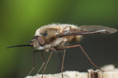 Big nose. Bug with wings Stock Photo