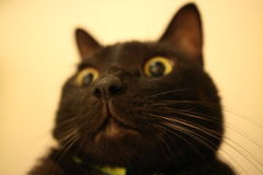 Big nose cat. Suprised cat  now Royalty Free Stock Photos