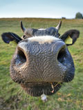 Big nose cow Stock Photo