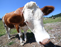 Big nose cow in the mountains photographed by fisheye lens Royalty Free Stock Photography