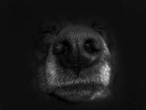 Big nose sheepdog. On a black background Royalty Free Stock Image