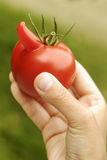 Big nose tomato Royalty Free Stock Image
