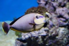Big nose unicorn fish. stock photo
