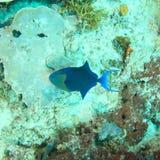 Big nose unicornfish - dark phase. (Naso vlamingii) fish swimming above corals - Raja Ampat, Papua Barat, Indonesia Stock Photo