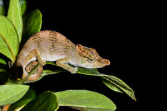 Big-nosed chameleon, calumma nasutum, andasibe Royalty Free Stock Photography
