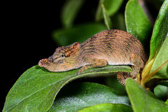 Big-nosed chameleon, calumma nasutum, andasibe Stock Photography
