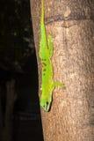 Big-nosed chameleon, Calumma nasutum is a bizarre chameleon, Amber mountain, Madagascar. The Big-nosed chameleon, Calumma nasutum is a bizarre chameleon, Amber Stock Photography
