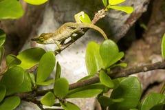 Big-nosed chameleon, Calumma nasutum is a bizarre chameleon, Amber mountain, Madagascar. The Big-nosed chameleon, Calumma nasutum is a bizarre chameleon, Amber Stock Images