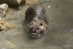 Big nutria swims Royalty Free Stock Image