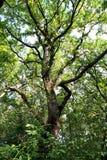Big oak Stock Photography