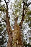 Big oak. Royalty Free Stock Image