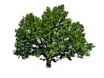 Big oak Stock Image