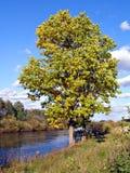 Big oak Royalty Free Stock Image