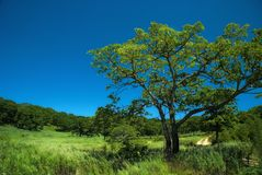 Big oak on the meadow. Summer scene, background Stock Photography