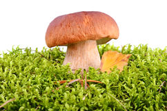 Big oak mushroom Royalty Free Stock Photography