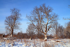 Big oak in snow Royalty Free Stock Photography