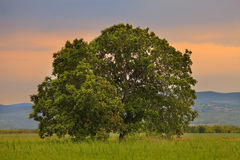 Big oak in sunset Stock Photography