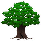 Big oak tree. Vector illustration. Big old oak tree on a white background Royalty Free Stock Photo