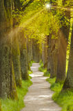 big oak tree alley with foot path Royalty Free Stock Photography