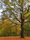 Big oak tree in autumn park in Berlin. stock images