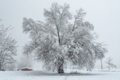 Big Oak Tree Covered With Snow and Hoar Frost stock images