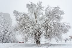 Big Oak Tree Covered With Snow and Hoar Frost stock image