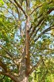 Big oak tree Stock Photos
