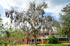 A big oak tree in front of University of Florida building Royalty Free Stock Image