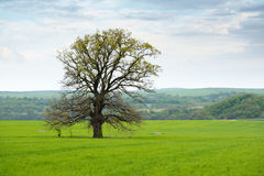 Big oak tree in a grass Royalty Free Stock Photography