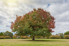 Big Oak tree on green grass in Autumn Royalty Free Stock Images