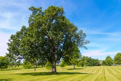 Big oak tree at horse farm, country simmer landscape Stock Photo