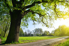 Free Big Oak Tree In The Park. Royalty Free Stock Photo - 71620475