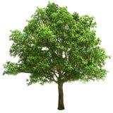 Big Oak Tree Isolated Royalty Free Stock Photo