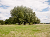 A big oak tree landscape outside along river with person walking Royalty Free Stock Image