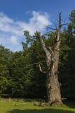 Big oak Royalty Free Stock Photography