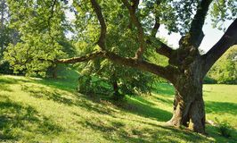 Big Oak Tree. In Park with Green Leaves Stock Photography
