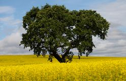 Big oak tree in rape seed field Stock Images