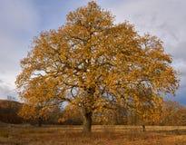 Big oak tree at sunset royalty free stock images