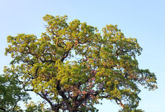 Big oak tree top. On blue sky background Royalty Free Stock Image