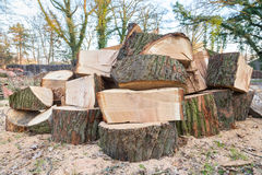 Big oak tree trunks sawn in parts Royalty Free Stock Images