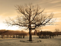 Big oak at the winter Stock Photos