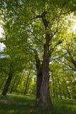 Big oaks royalty free stock photography