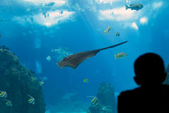 Big ocean ray Royalty Free Stock Photos