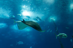 Big Ocean ray Stock Image