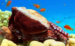 Big octopus in Red sea Royalty Free Stock Photo