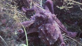 Big octopus in the stone seabed in search of food. stock video footage