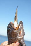 Big often eat the small. Photo of the big catfish with a cod sticking out of a mouth against the sky Stock Images