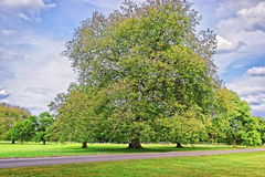 Big old Alder tree in Park of Audley End House Stock Photos