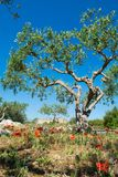 Big and old ancient olive tree in the olive garden in Mediterran. Ean with stones and poppy flowers Royalty Free Stock Photography